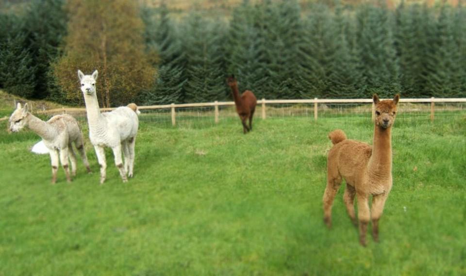 2-alpacas